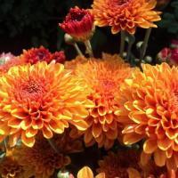 Хризантема корейская Гомпи Бронз