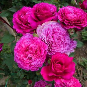 Роза Вентило