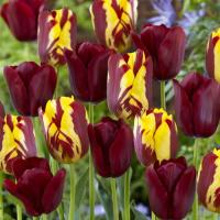 Тюльпан  Хелмар 5 шт