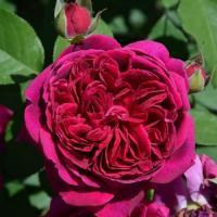 Роза английская Вильям Шекспир 2000