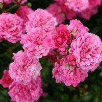 Роза миниатюрная Пепита